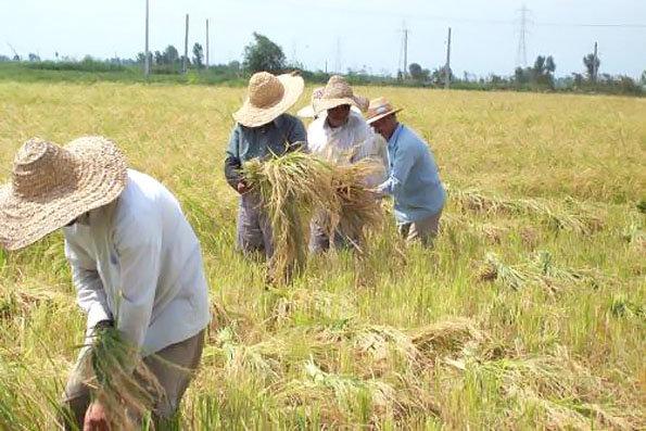 کشاورزان از کمترین حقوق خود محروم هستند/ ضرورت پرداخت مطالبات