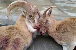 آخرین وضعیت پرونده کشتار حیات وحش در ارزوئیه