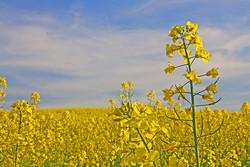 ۸ هزار تن دانه روغنی کلزا در آذربایجان غربی تولید می شود