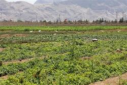 اراضی زیر کشت گیاهان دارویی استان مرکزی امسال ۱۰۰هکتار افزایش می یابد