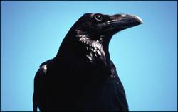 فیلم/ باهوش ترین پرنده دنیا را ببینید