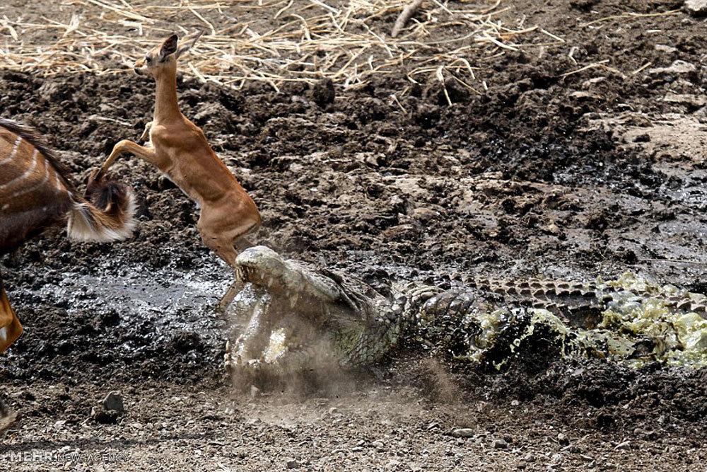 شکار بچه آهو توسط کروکدیل