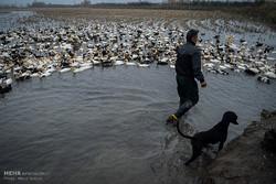 پرورش اردک های شالیزاری در فریدونکنار