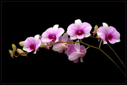 Iran to hold 1st National Orchid Festival