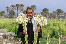 برداشت گل مریم در هشت بندی هرمزگان