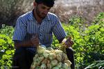 محصول پیاز جنوب کرمان به امارات و افغانستان صادر شد