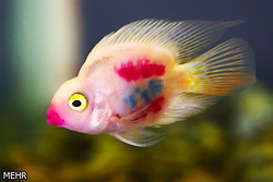 ۱۳ شهرستان اصفهان تولیدکننده بیش از ۵۰ میلیون ماهی زینتی کشور است