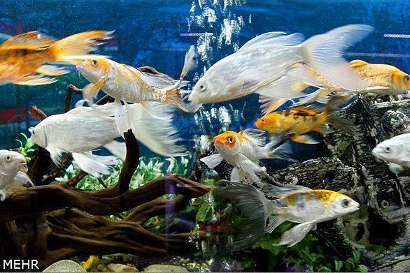 کلنگ احداث اولین شهرک تولید ماهی زینتی کشور در محلات بر زمین نشست