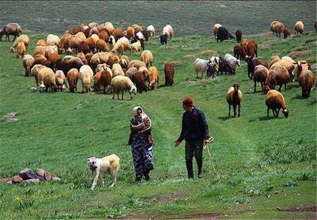 یک میلیون و۵۰۰هزار رأس دام دراختیارجامعه عشایر استان کرمانشاه است