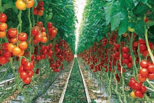 تولید گوجه فرنگی تراریخته مقاوم به آفت «مگس مینور»