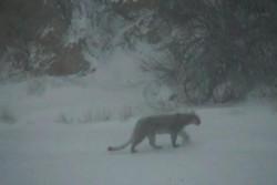 VIDEO: Persian leopard caught on CCTV in Semnan