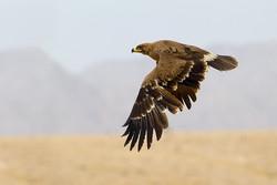 کراپشده - عقاب صحرایی