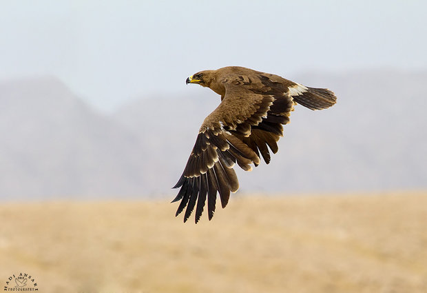 تیمار ورهاسازی دومین پرنده شکاری/عقاب استپی در دنا به پرواز درآمد