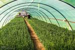 آماده سازی 130 هزار گل برای نوروزدر گلخانه های بجنورد