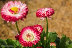 Municipal greenhouse nurseries to prepare 130k flowers