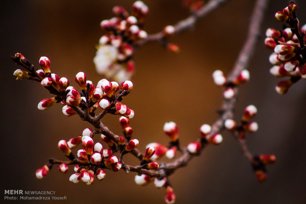 درخت شکوفه بهاری