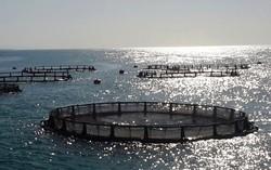 طرحهای پرورش ماهی در خلیج فارس توسعه مییابد/ صدور ۵۰ مجوز جدید