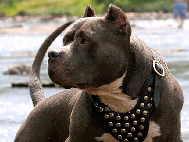 سگ وحشی سگ پیت پول بهترین نژاد سگ pit bull dog
