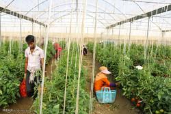 توسعه کشت گلخانهای از اولویتهای استان بوشهر است