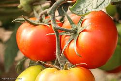Greenhouse tomato harvest