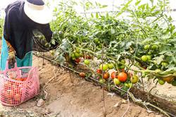 ثبت ۲۶۶ مورد درخواست احداث گلخانه در استان همدان