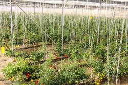 افزایش ۴۰۰ هزار هکتاری فضای گلخانهای در اصفهان