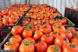 جزئیات پروژههای توسعه کشاورزی گلخانهای در ایران/ سطح گلخانهها ۵ برابر میشود