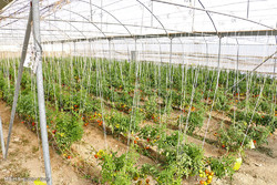 افزایش ۲۵ درصدی تولید محصولات گلخانهای در استان بوشهر