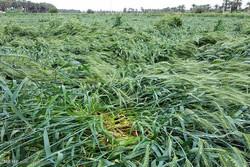 خسارت باد و باران به مزارع گندم هشت بندی