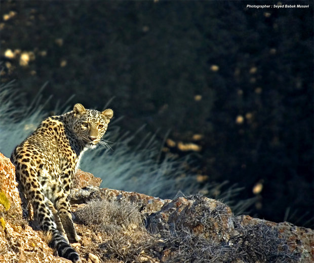 Persian Leopard covered by insurance policy