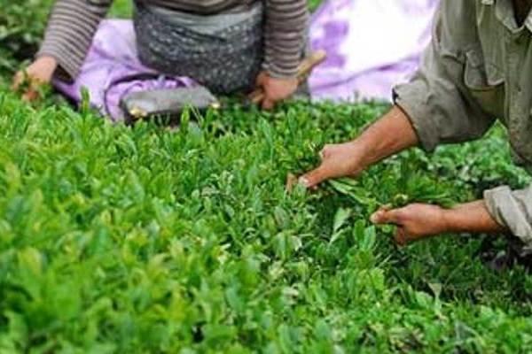 کشاورزان همچنان منتظر اعلام نرخ خرید تضمینی هستند