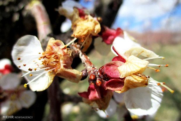 سرمازدگی ۱۵۰۰ میلیارد تومان به کشاورزی استان فارس خسارت وارد کرد