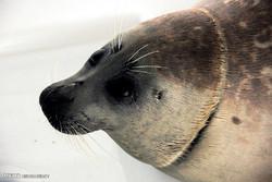 رها سازی نخستین فک خزری سال 95 در ساحل آشوراده