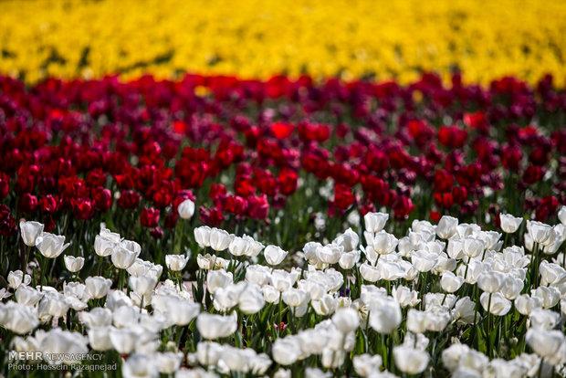 جشنواره لالههای بهاری