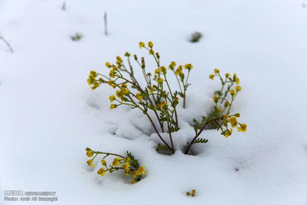 Sari under spring snow