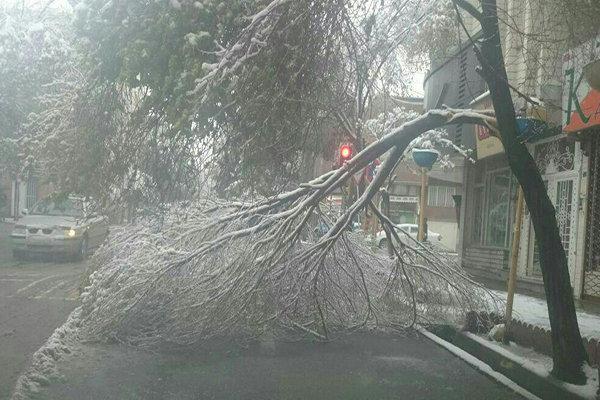 سقوط و شکستن درختان تبریز در اثر سنگینی برف