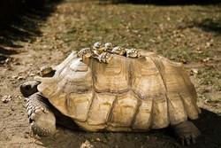 لاکپشت مهمیز دار