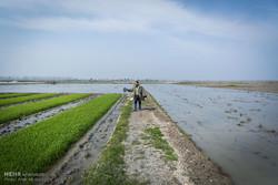 شالیکاری گلستان رابیابان میکند/کشاورزان کشت جایگزین مناسب ندارند