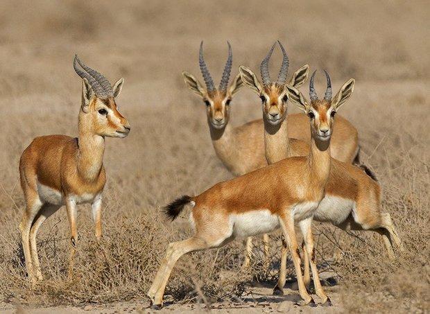 ۵۵۸ راس جبیر در پارک ملی کویر گرمسار مشاهده شد