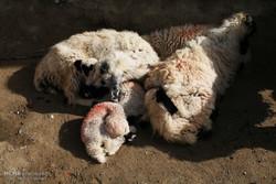 بیماری علت تلف شدن ۱۰۰۰ گوسفند صادراتی بندر شادگان نبود