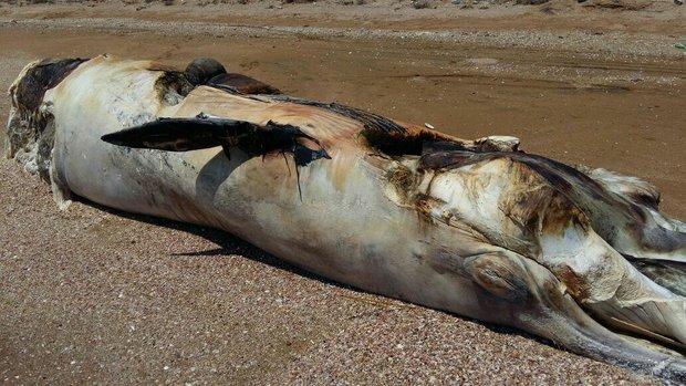 لاشه نهنگ ۱۰ متری در قشم