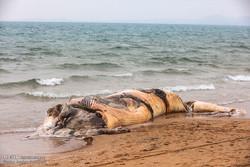مياه الخليج الفارسي تلفظ جثة حوت الى شاطئ جزيرة قشم الايرانية