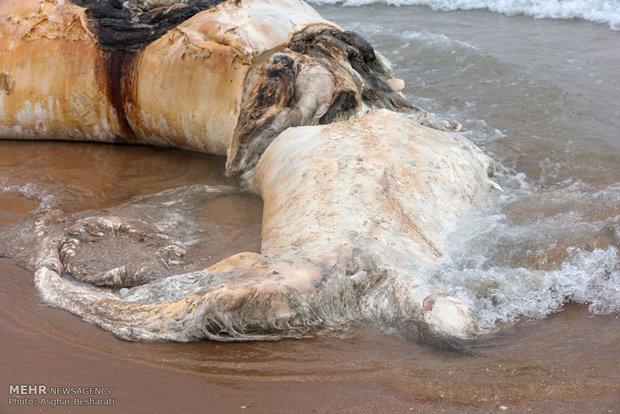 به گل نشستن لاشه یک نهنگ به طول ۱۰ متر
