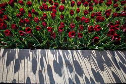 تبریز پھولوں کا میزبان