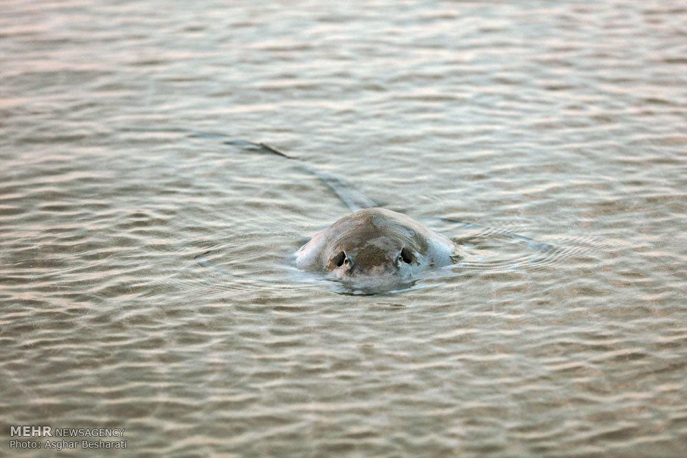 مرگ دستجمعی سفره ماهیها در ساحل قشم