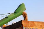 خرید ۲۶۰ هزار تن گندم تضمینی و توافقی از کشاورزان