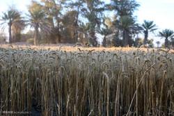 برداشت گندم از مزارع هشت بندی هرمزگان