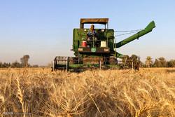 ۱۴.۵ میلیون تن گندم در کشور برداشت میشود/ افزایش میزان تولید