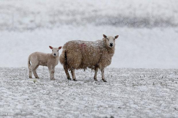 بارش برف بهاری در انگلیس