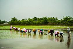 برنج مازندران در سودای «برندسازی»